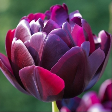 tulip-black-hero