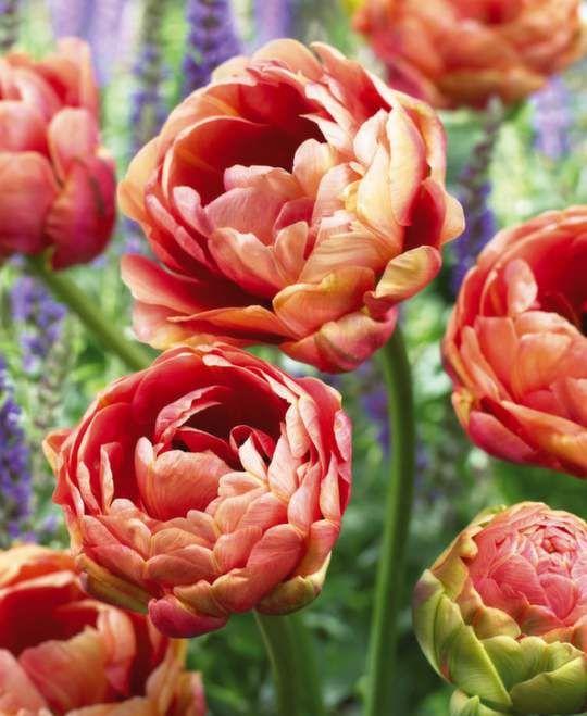tulip_copper_image.jpg