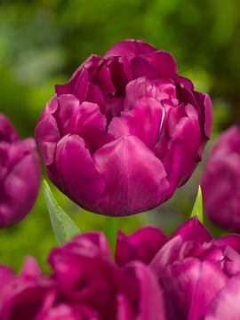 tulip_royal_acres