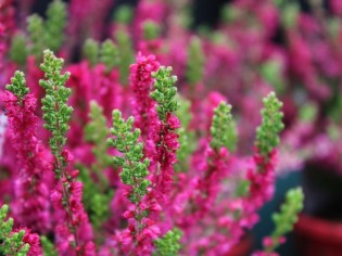 calluna_vulgaris_dark_beauty_2_resized